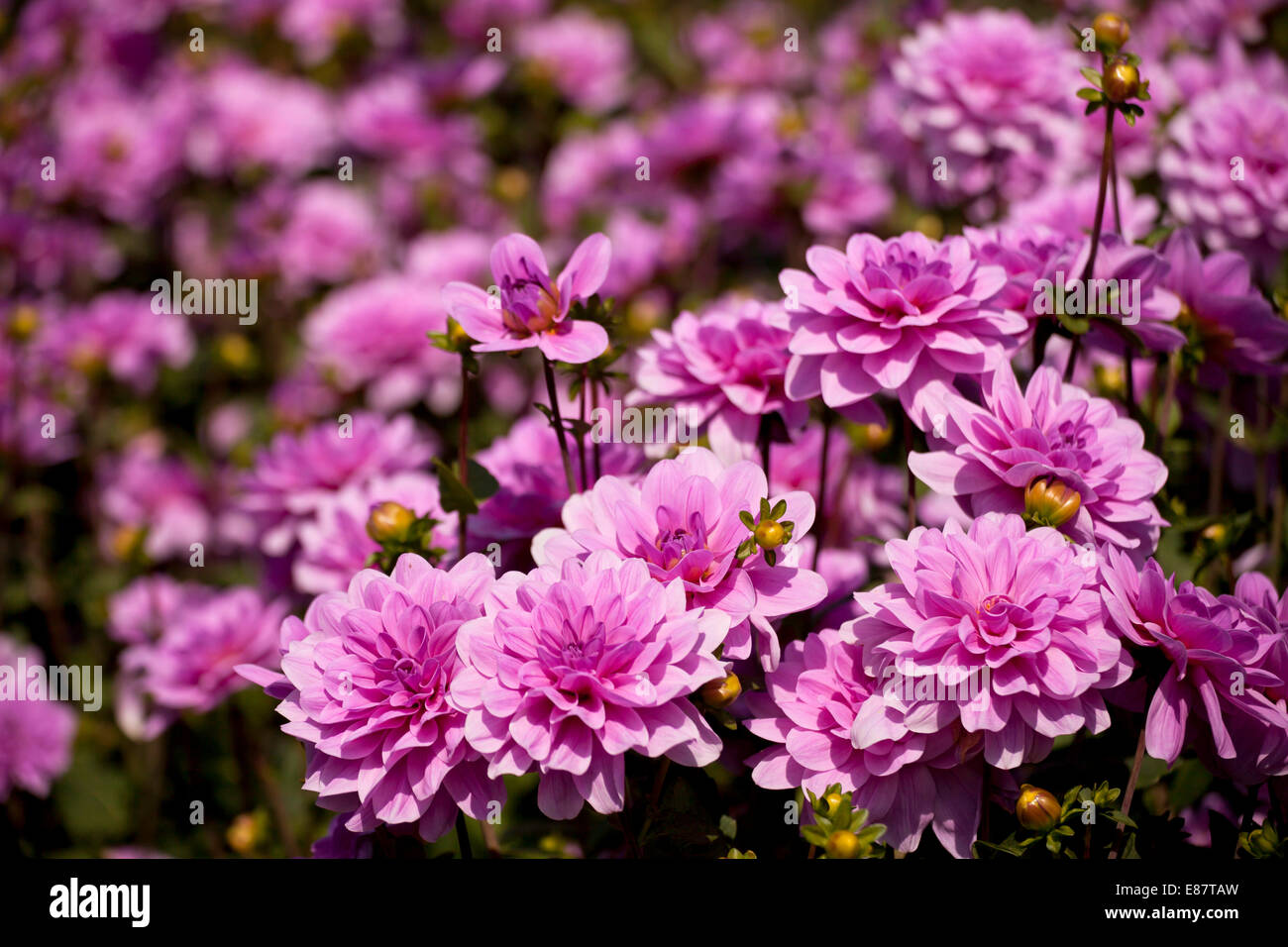 Dahlia flowers stock photos dahlia flowers stock images alamy dahlia flowers germany stock image izmirmasajfo