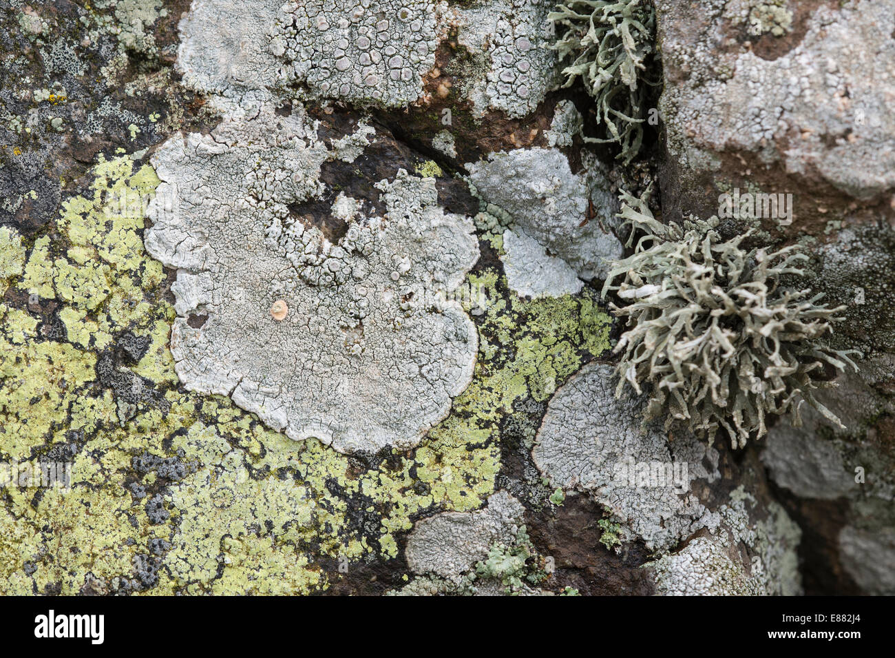 Different type of lichen growing in Dale Fort Haverfordwest Pembrokeshire Wales UK Europe - Stock Image