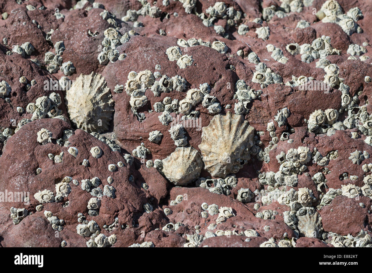 Common Limpet and barnacles Dale Fort Haverfordwest Pembrokeshire Wales UK Europe Stock Photo