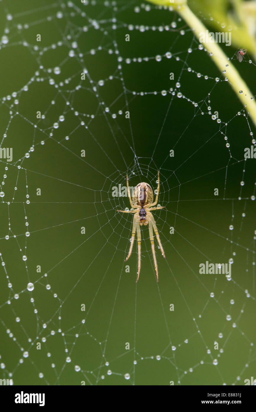 Spider Meta segmentata or mengei in Llanymynech Quary Wales UK Europe August - Stock Image