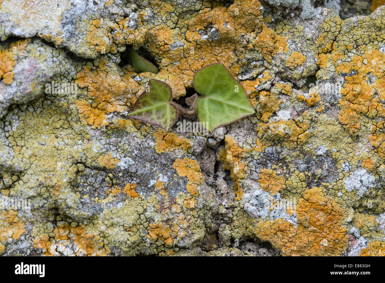 Xenthoria parietina lichen covering old building stone wall, new ivy growth Skomar Island Pembrokeshire Wales UK - Stock Image