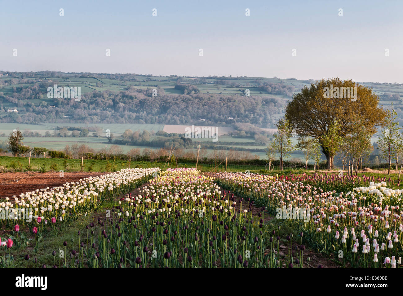 A field of tulips grown for sale as cut flowers by mail order, Herefordshire, UK - Stock Image