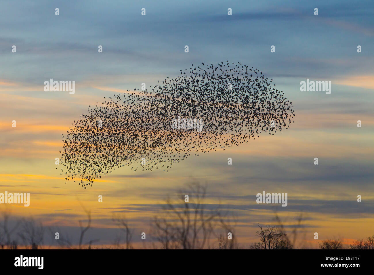 Starling murmuration Didcot Oxfordshire - Stock Image