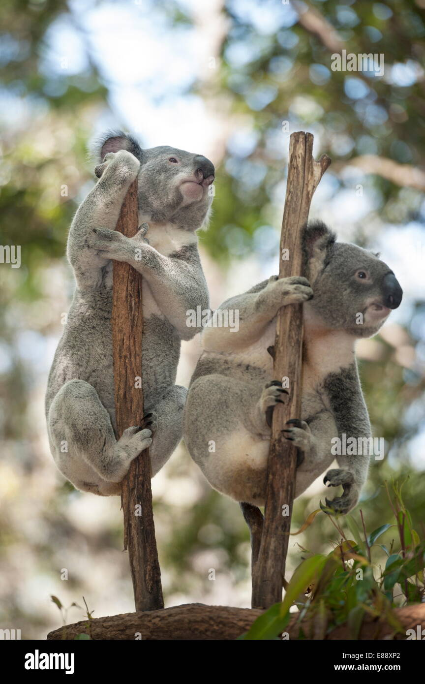 Two koalas (Phascolarctos Cinereous) hanging on a tree, Lone Pine Koala Sanctuary, Brisbane, Queensland, Australia, - Stock Image