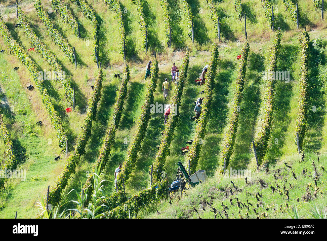 Italy,panorama of vineyards of Piedmont: Langhe-Roero and Monferrato on the World Heritage List UNESCO.The harvest. - Stock Image