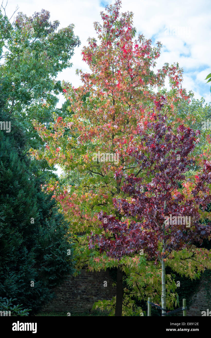 Three Maple Trees With Different Couloured Autumn Leaves Purple