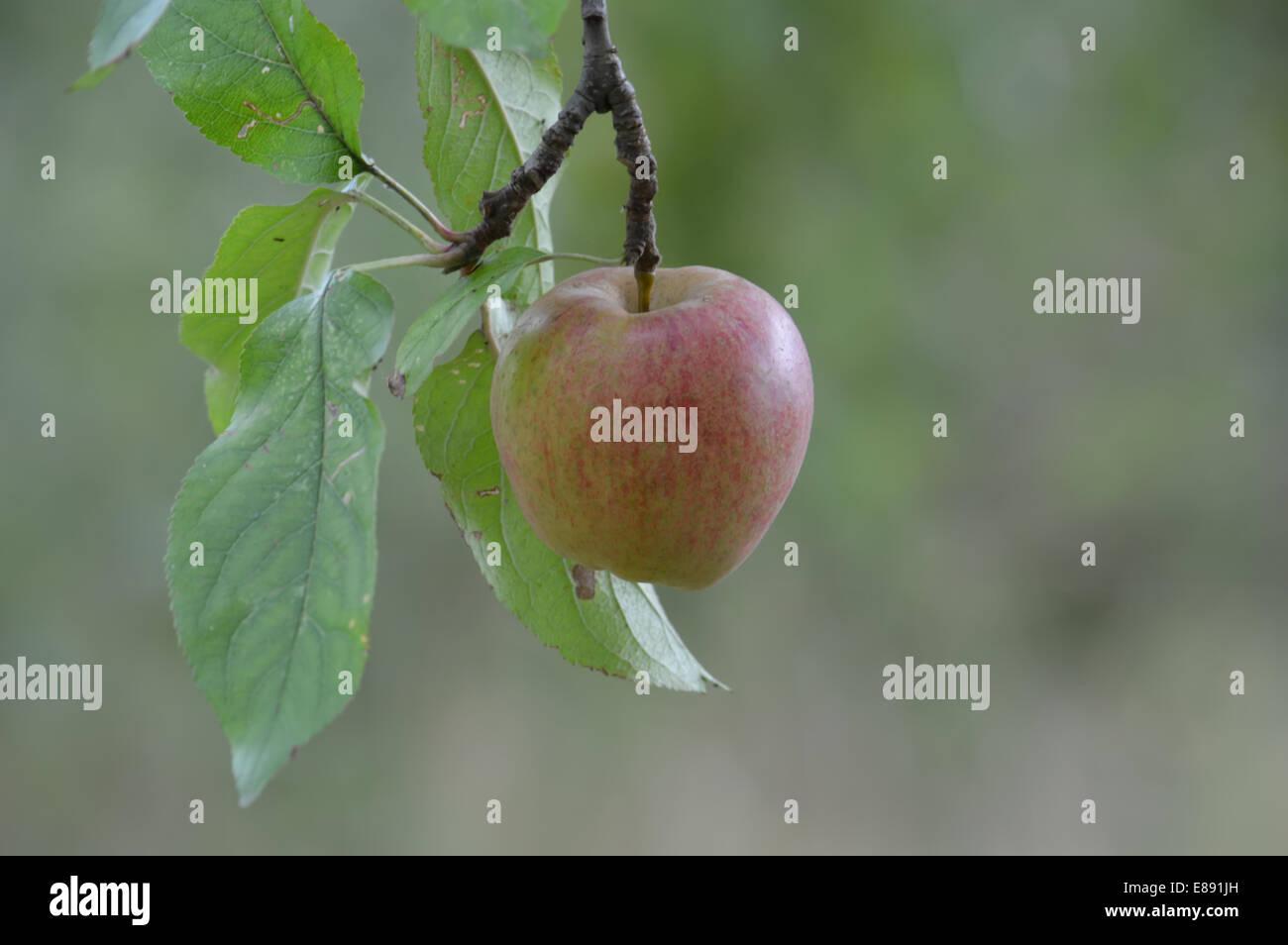 Apple hanging on twig - Stock Image