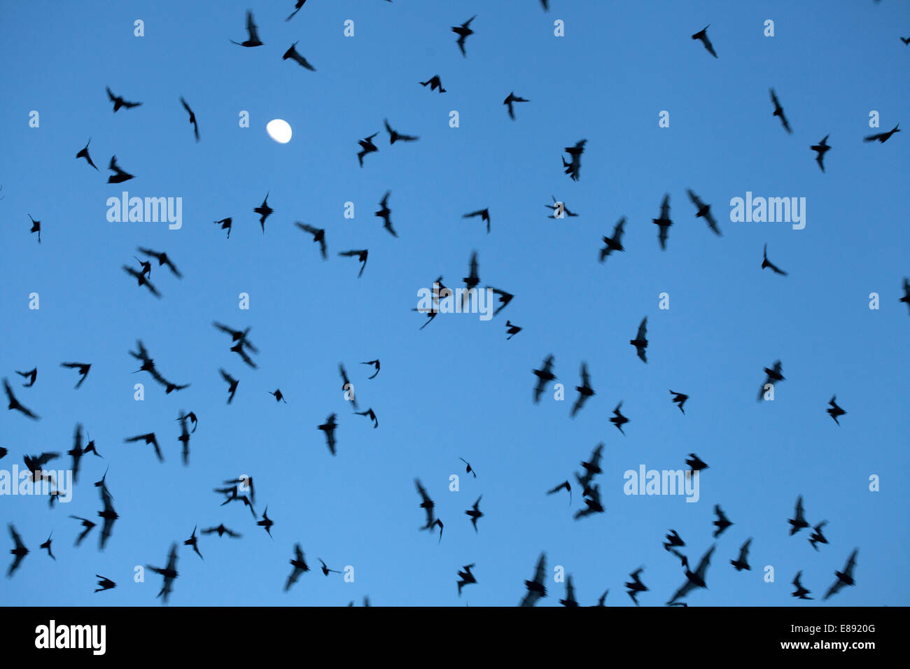 Bats fly in Calakmul Biosphere Reserve, Campeche state, Yucatan Peninsula, Mexico - Stock Image