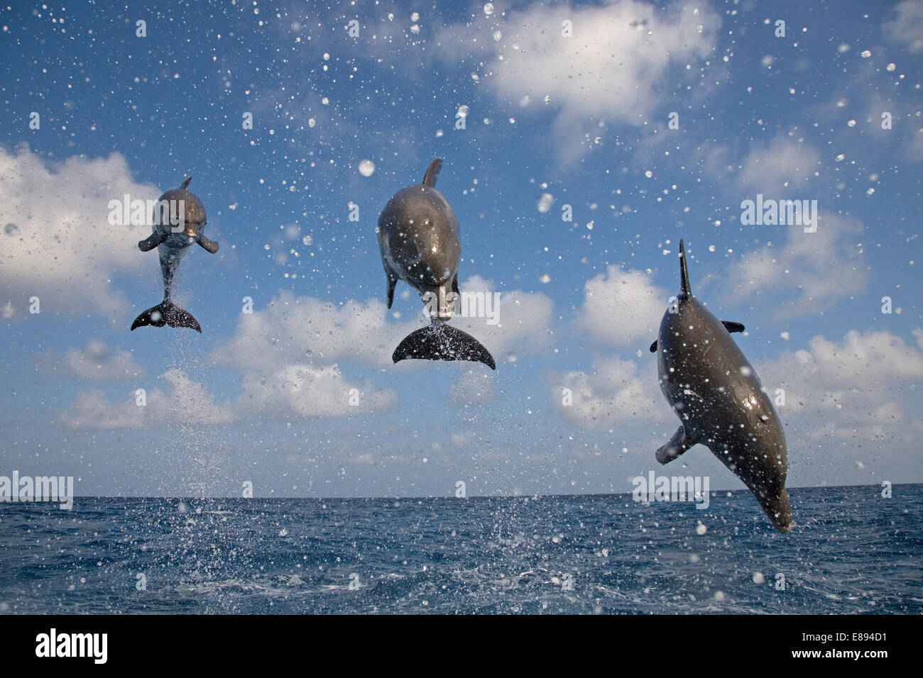 Bottle-nosed Dolphin Tursiops truncatus Length 2.5-4m Bulky, muscular dolphin. Social, found in schools of 3-4 animals. - Stock Image