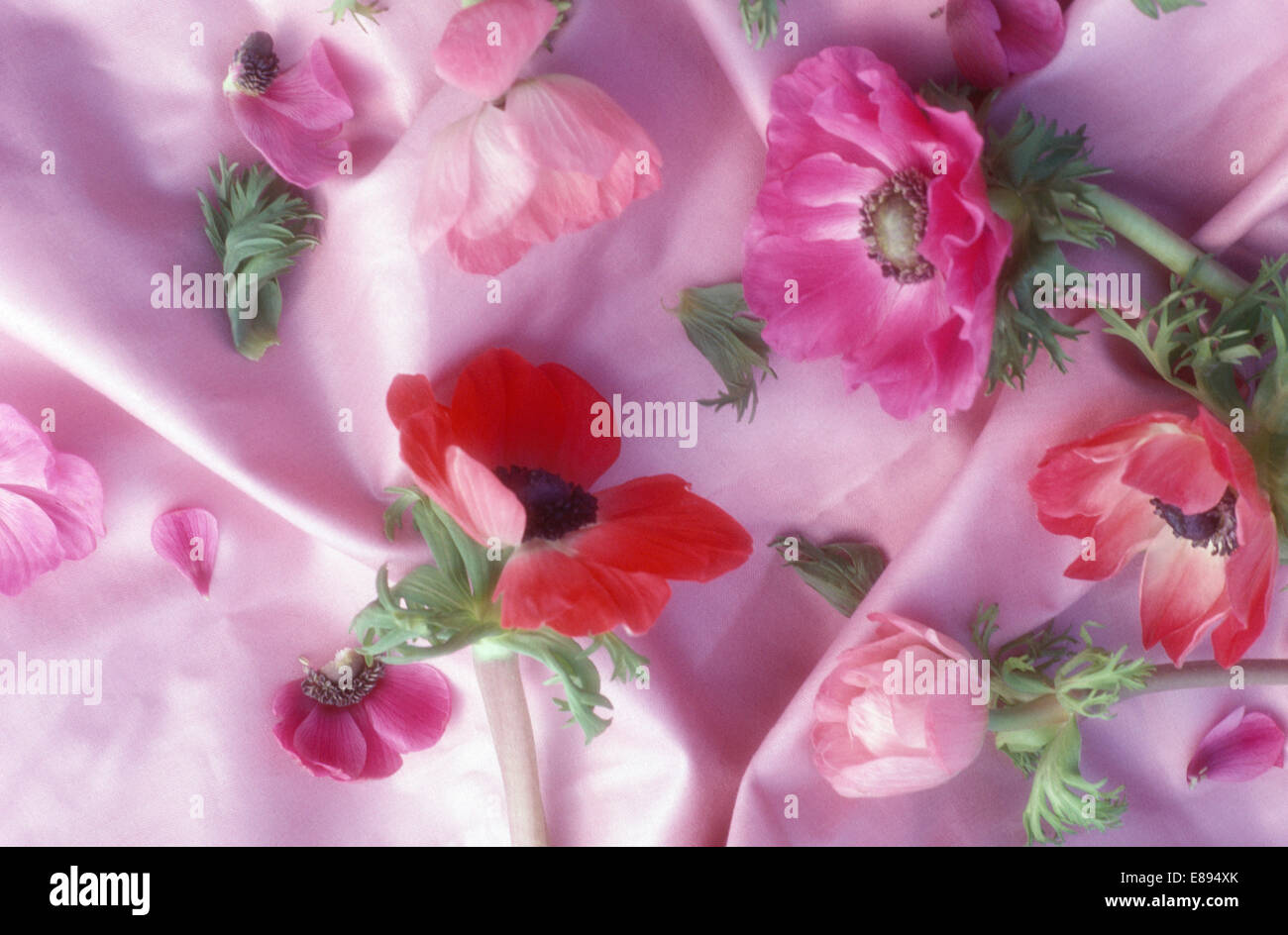 Red Anemone Flowers Stock Photos Red Anemone Flowers Stock Images