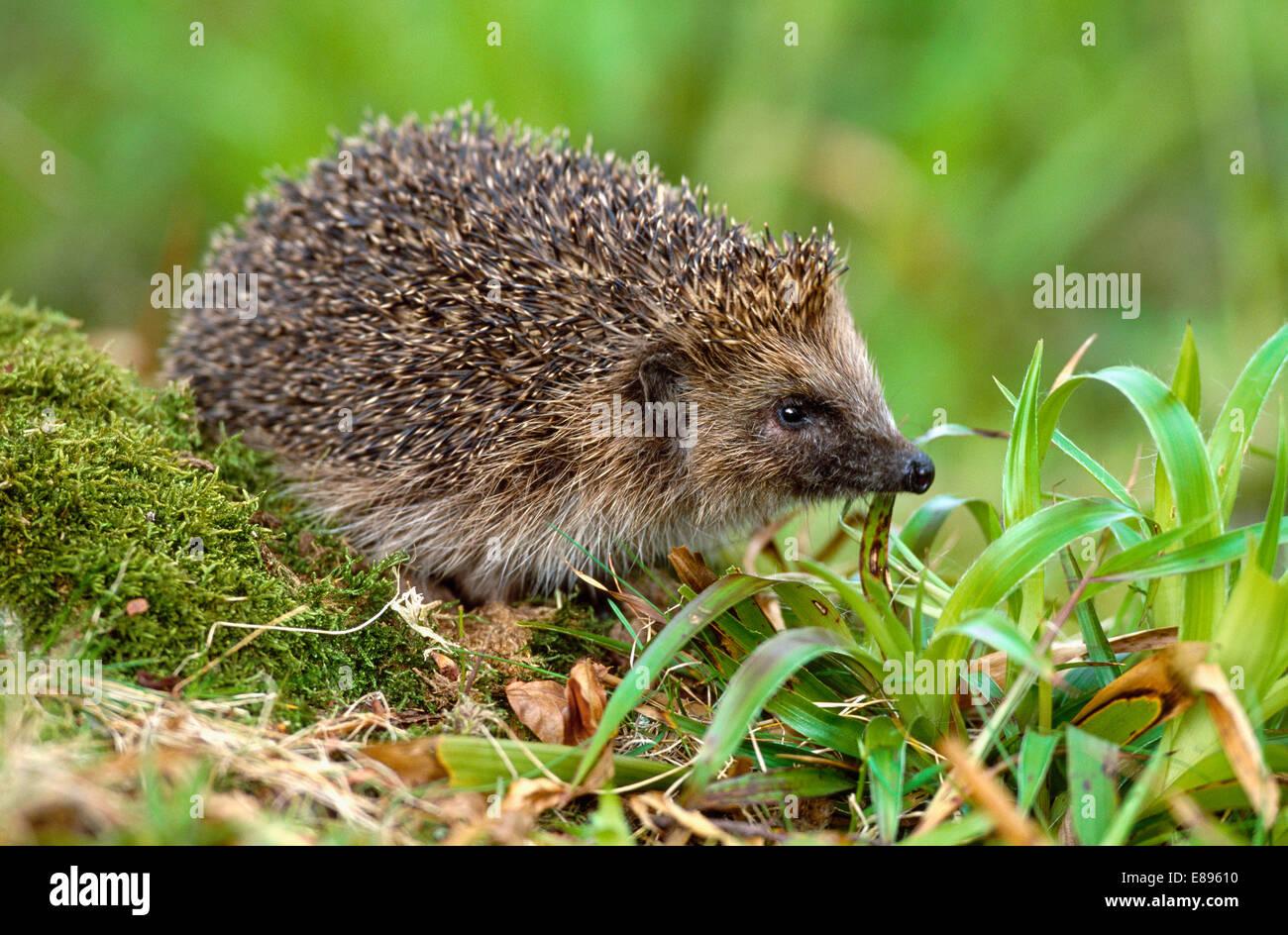 Hedgehog - Erinaceus europaeus Stock Photo