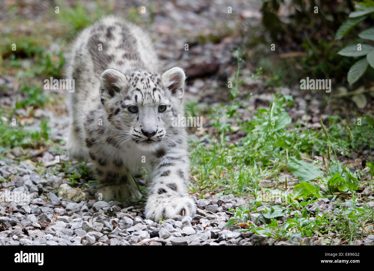 A lone Snow leopard cub tentatively explorers the area. - Stock Image