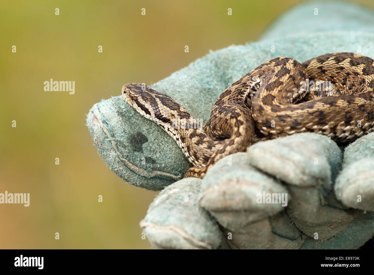 beautiful meadow viper, the elusive Vipera ursinii rakosiensis, wild specimen; you can see a venom drop on the glove - Stock Image