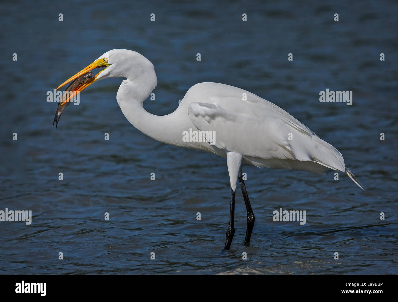 Great Egret fishes out breakfast in the early morning. - Stock Image