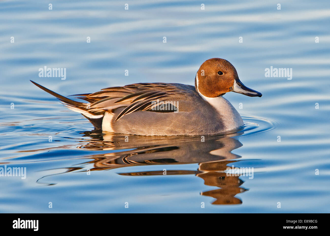 Male Pintail Duck taking a swim in a pond on a beautiful afternoon. - Stock Image