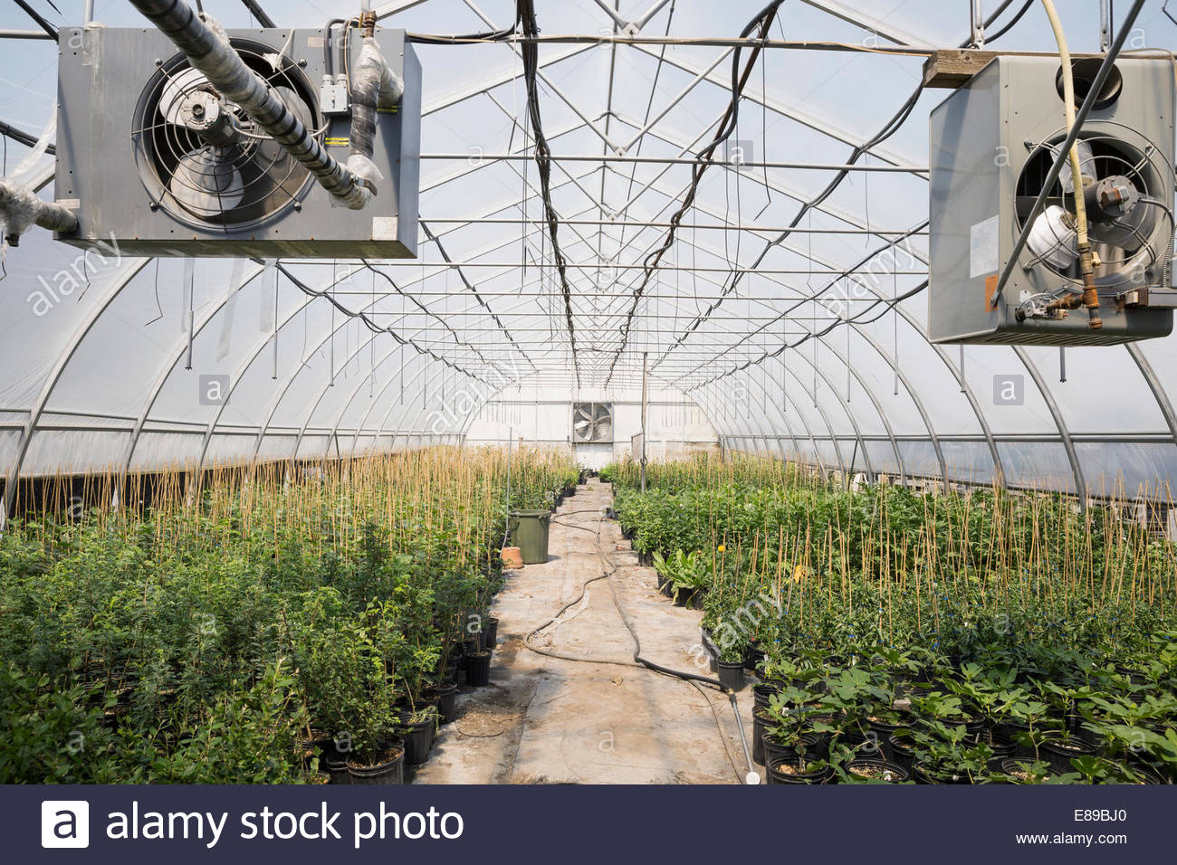 Rows of plants in greenhouse - Stock Image