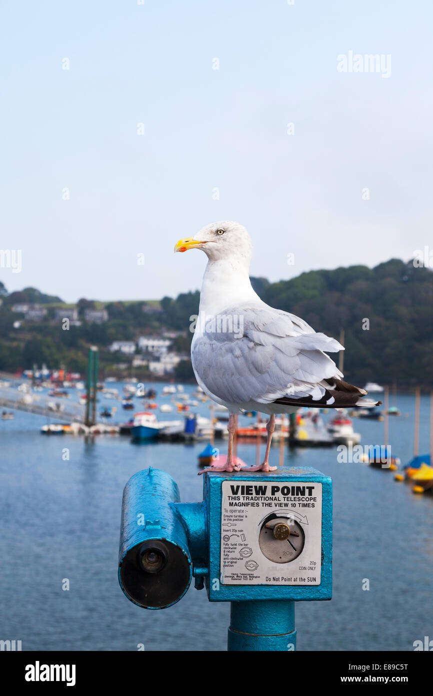 seagull stood on telescope view point overlooking Falmouth harbour boats Cornwall Cornish bird menace - Stock Image