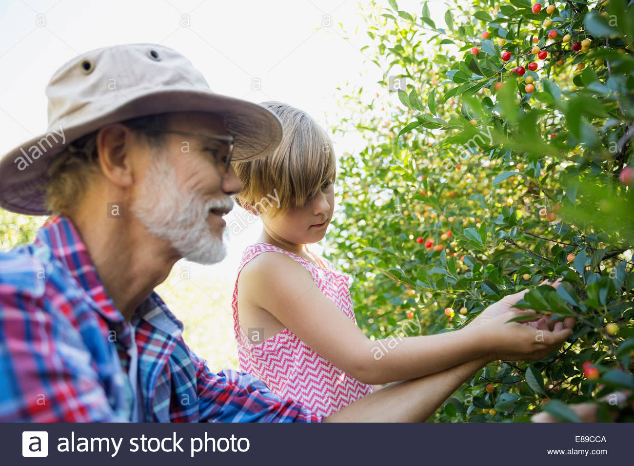 Grandfather and granddaughter picking currants in garden - Stock Image