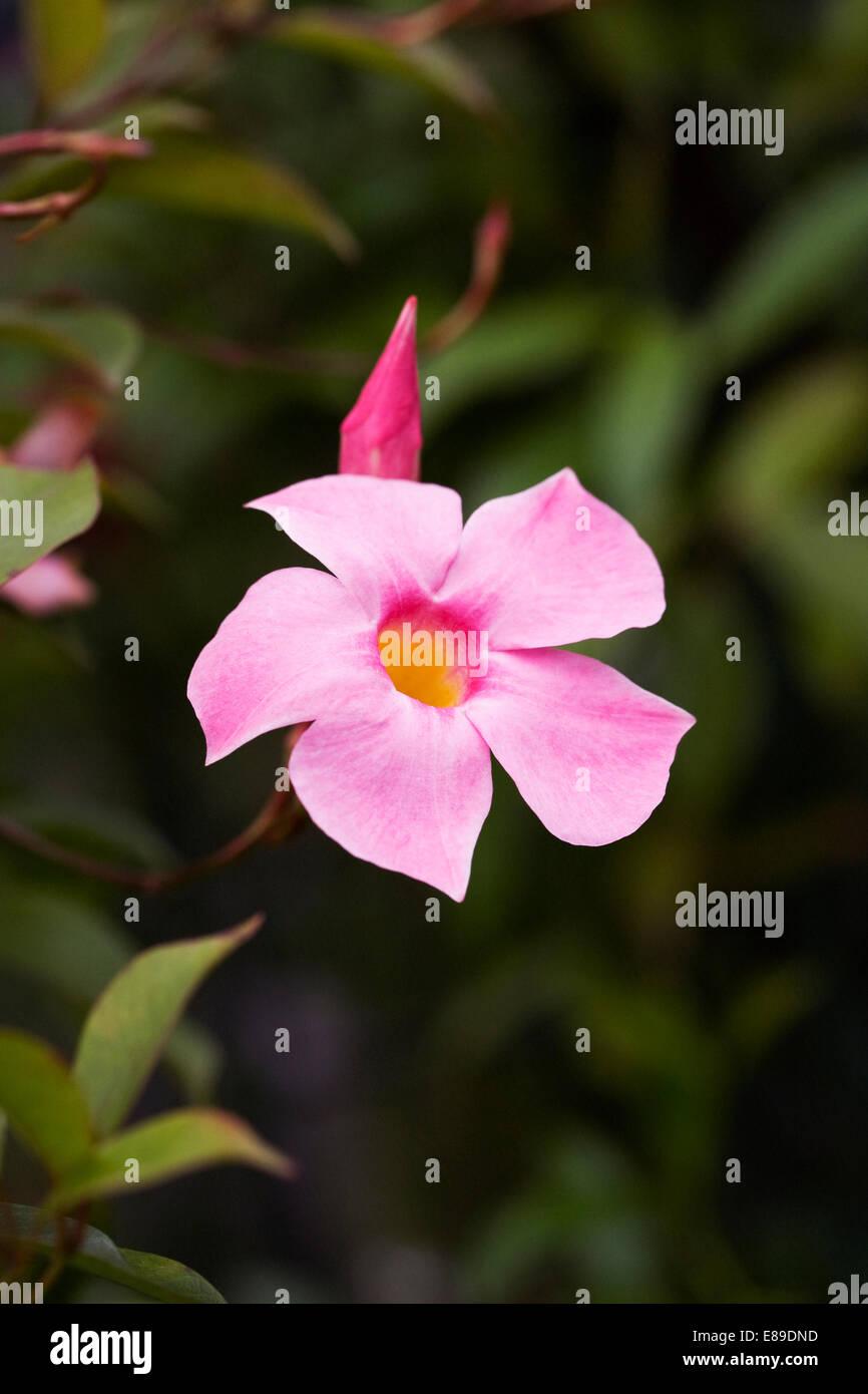 Mandevilla Sundaville Pretty Rose Flower Stock Photo 73967081 Alamy