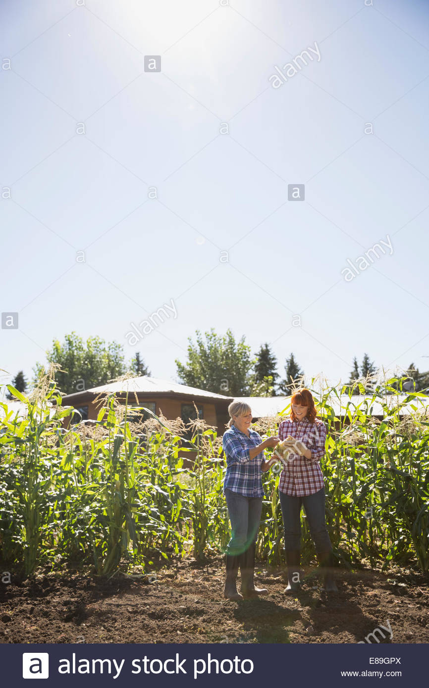 Women checking corn in sunny crop - Stock Image