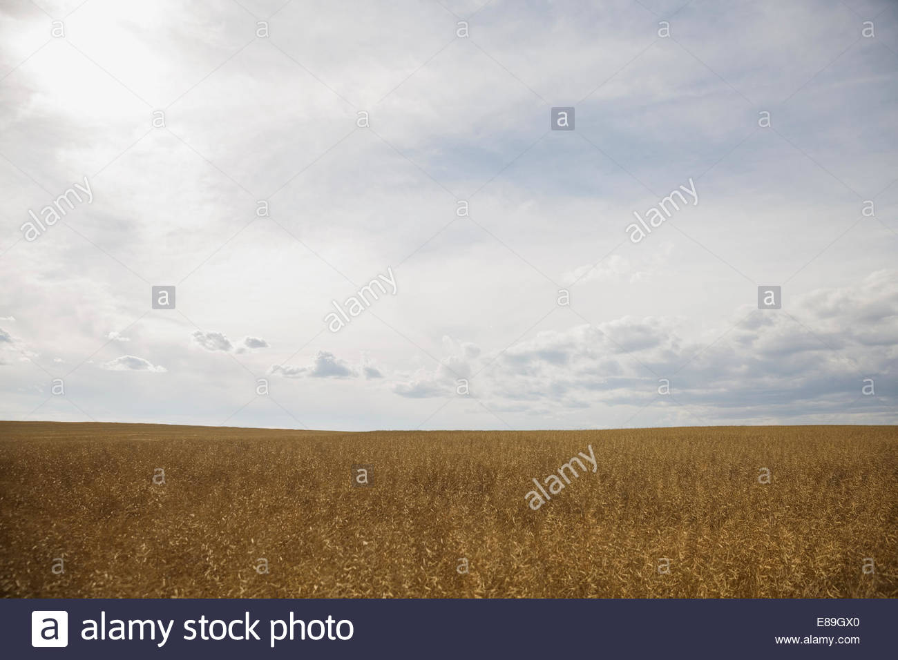Sunny rural wheat field - Stock Image