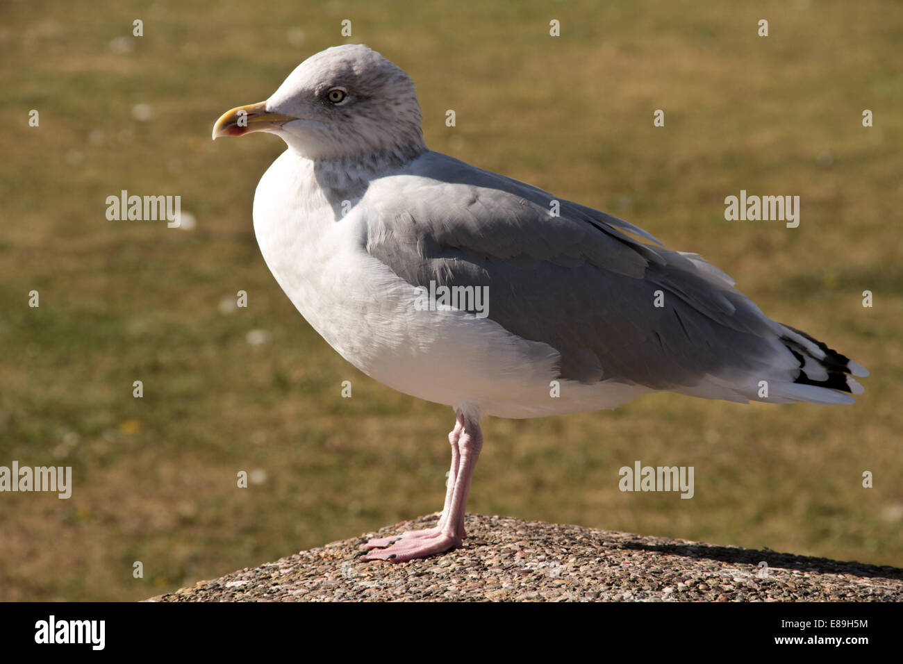 Seagull Laridae basking in the sunshine at Aberdaron Wales - Stock Image
