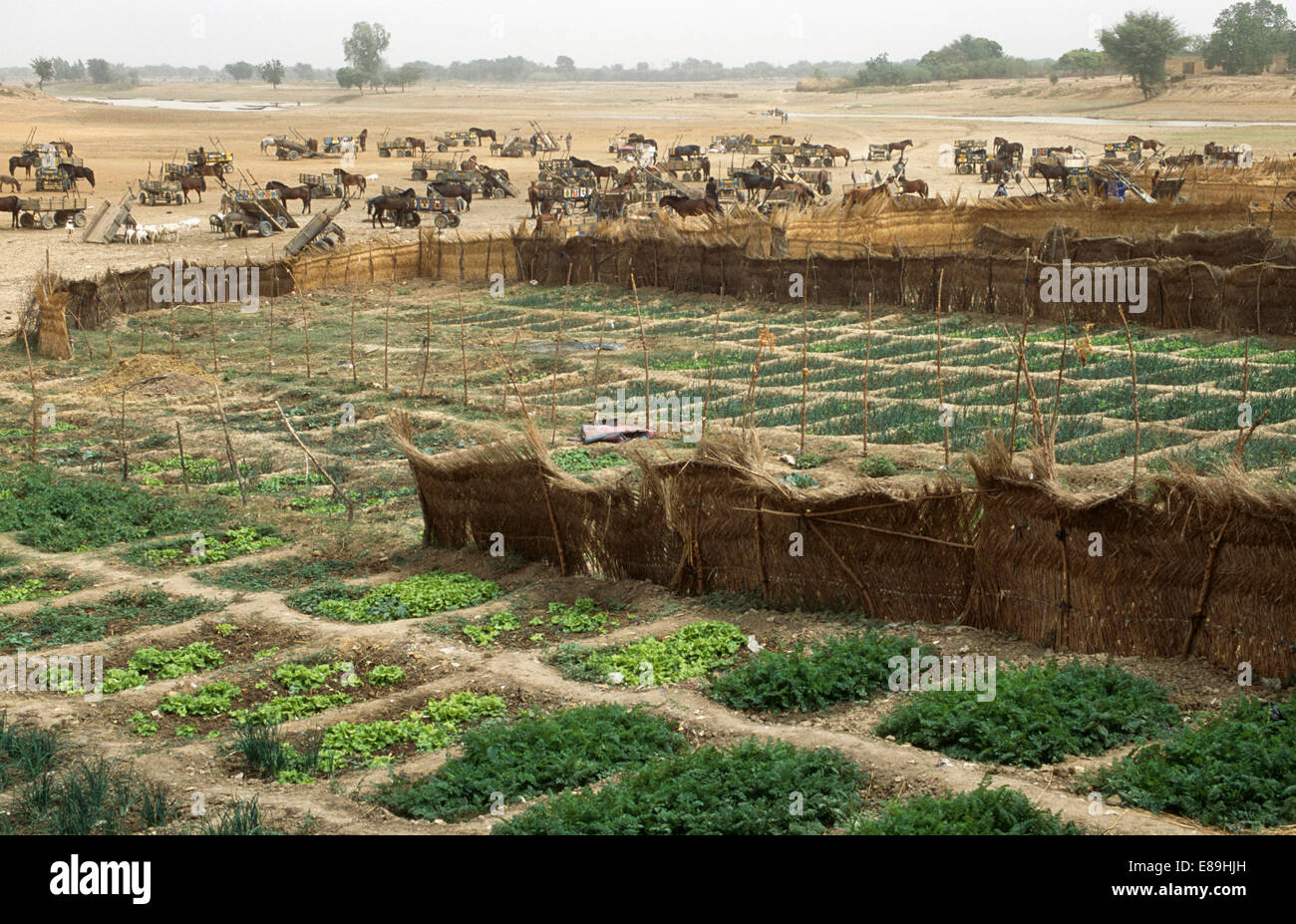 Vegetable gardens and market carts near the River Bani in Djenne, Mali - Stock Image