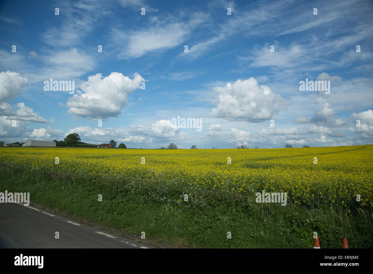 A sunny day of blue skies and fluffy clouds over a rapeseed field of yellow, Wolverhampton countryside, UK - Stock Image