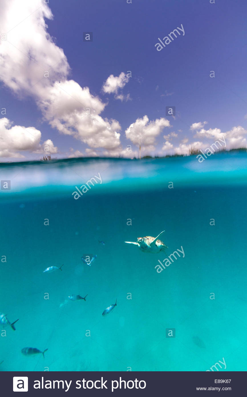 A hawksbill sea turtle (Eretmochelys imbricata) swims beneath the surface of the Caribbean Sea at Barbados - Stock Image