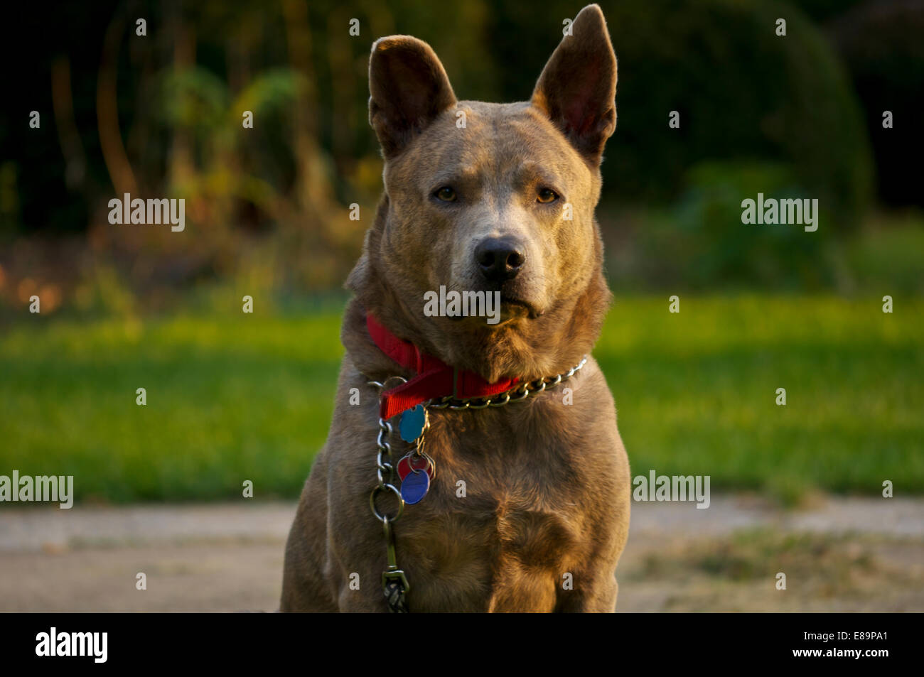 Dog sitting looking straight into the camera with a grass background - Stock Image