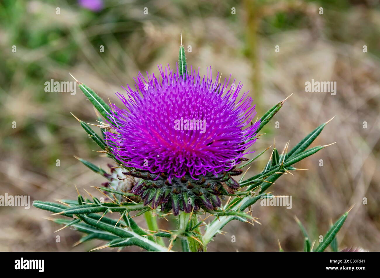 Beautiful rose thistle in mountain - Stock Image