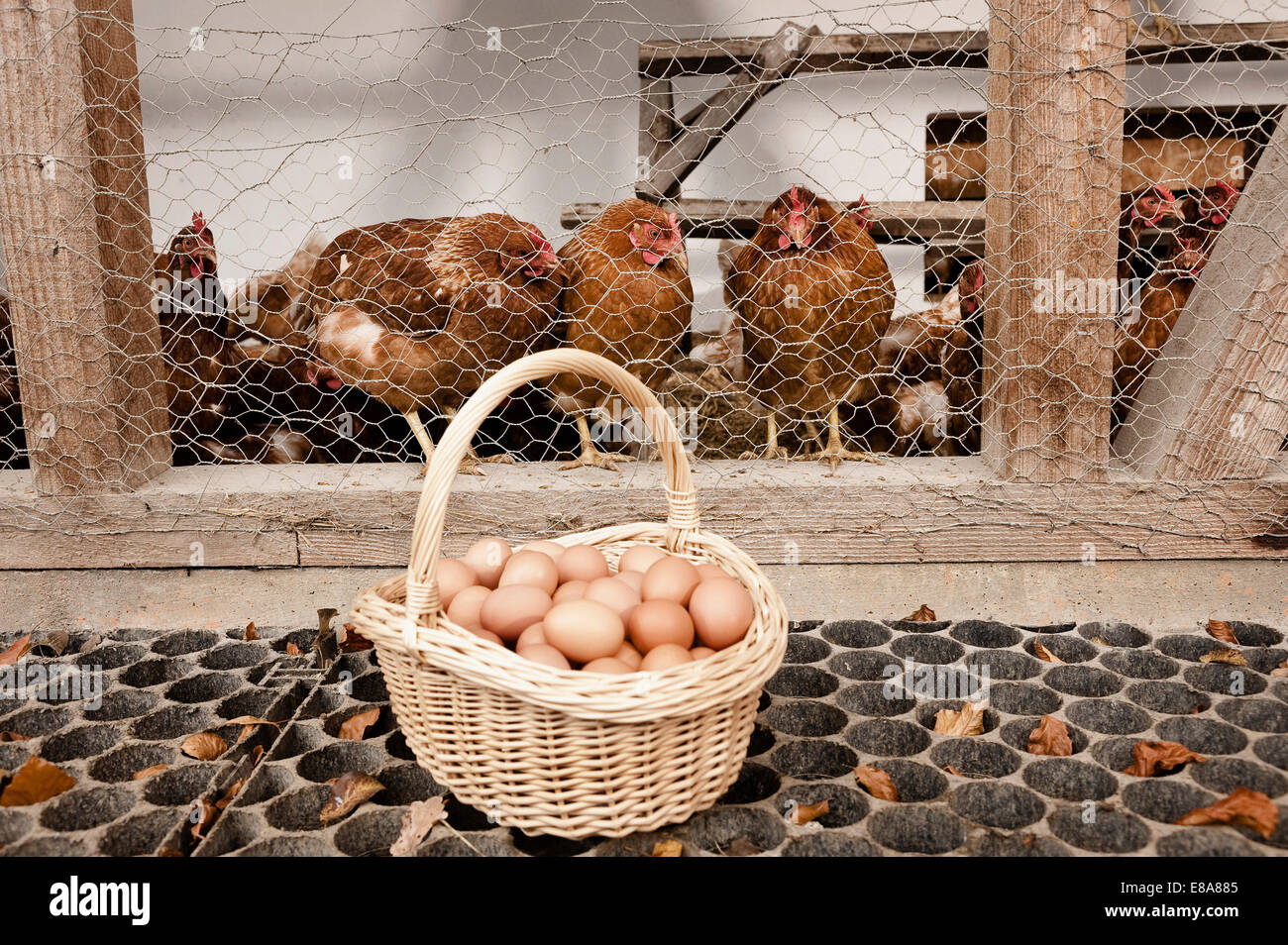 Basket with eggs at henhouse on organic farm - Stock Image