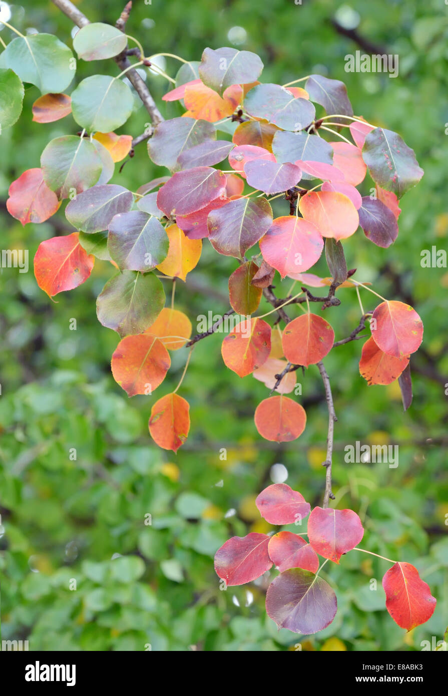 red, yellow and orange autumn leaves of pear trees;isolated branch - Stock Image