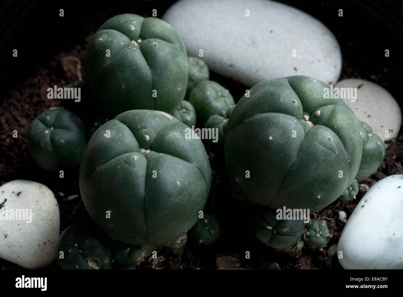 Peyote Cactus Lophophora Williamsii  Lophophora williamsii or peyote