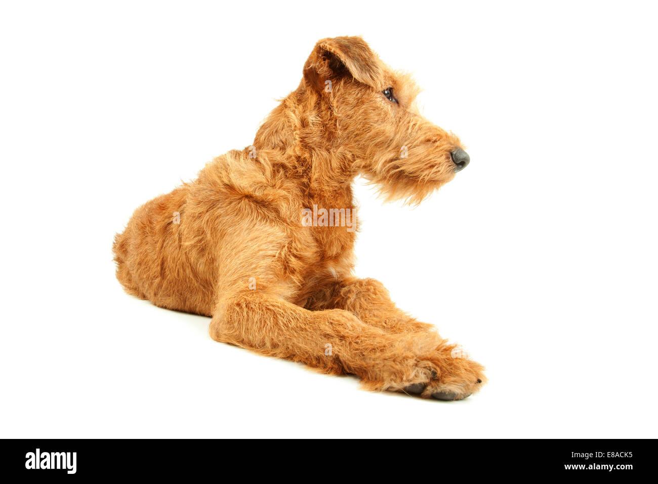 Irish Terrier, dog isolated on white background - Stock Image