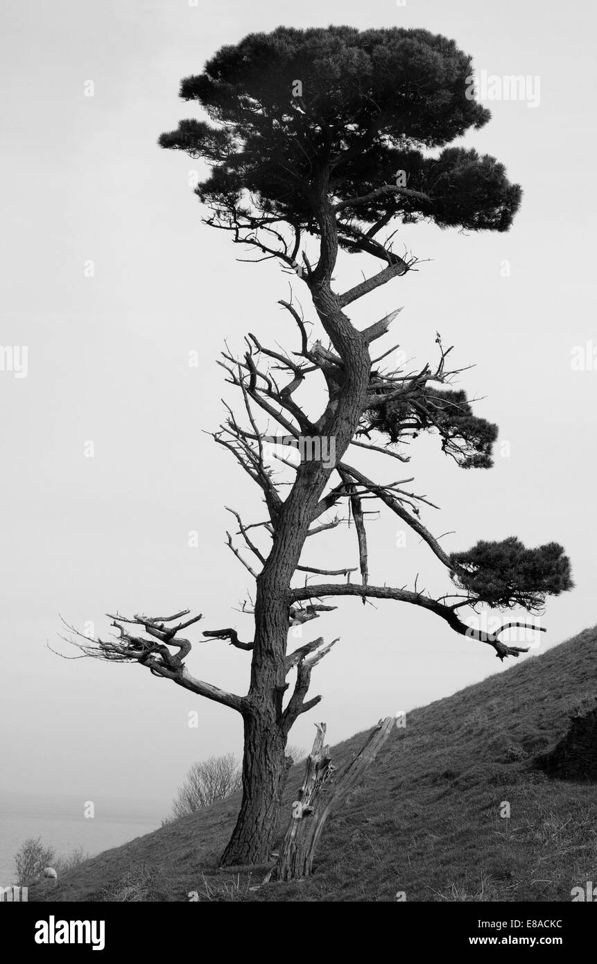 A solitary, damaged pine tree overlooks Start Bay in South Devon. England 2008. - Stock Image