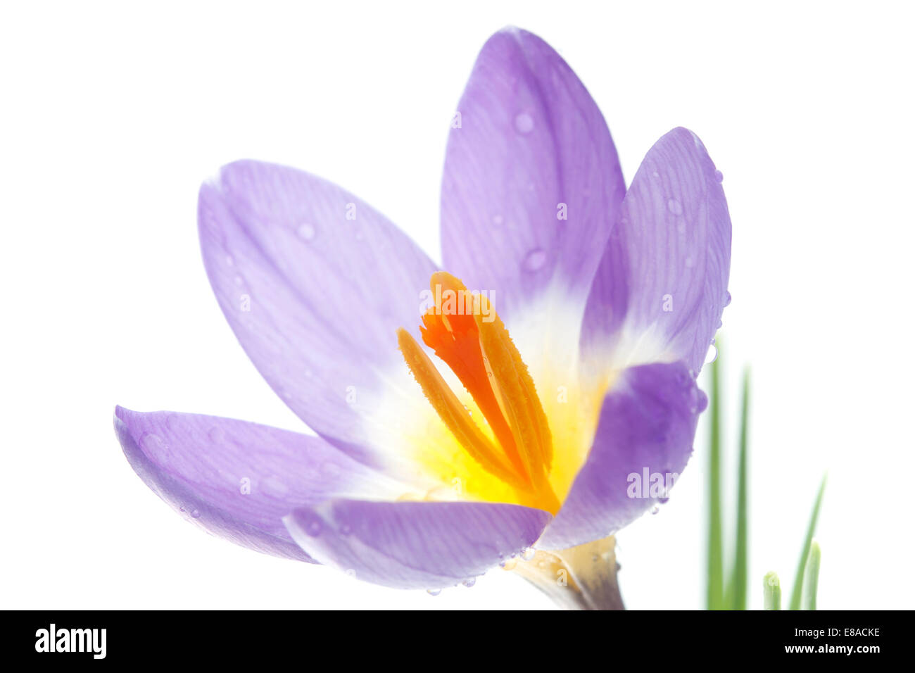 Flower Crocus Tricolor in the Iris family - Stock Image