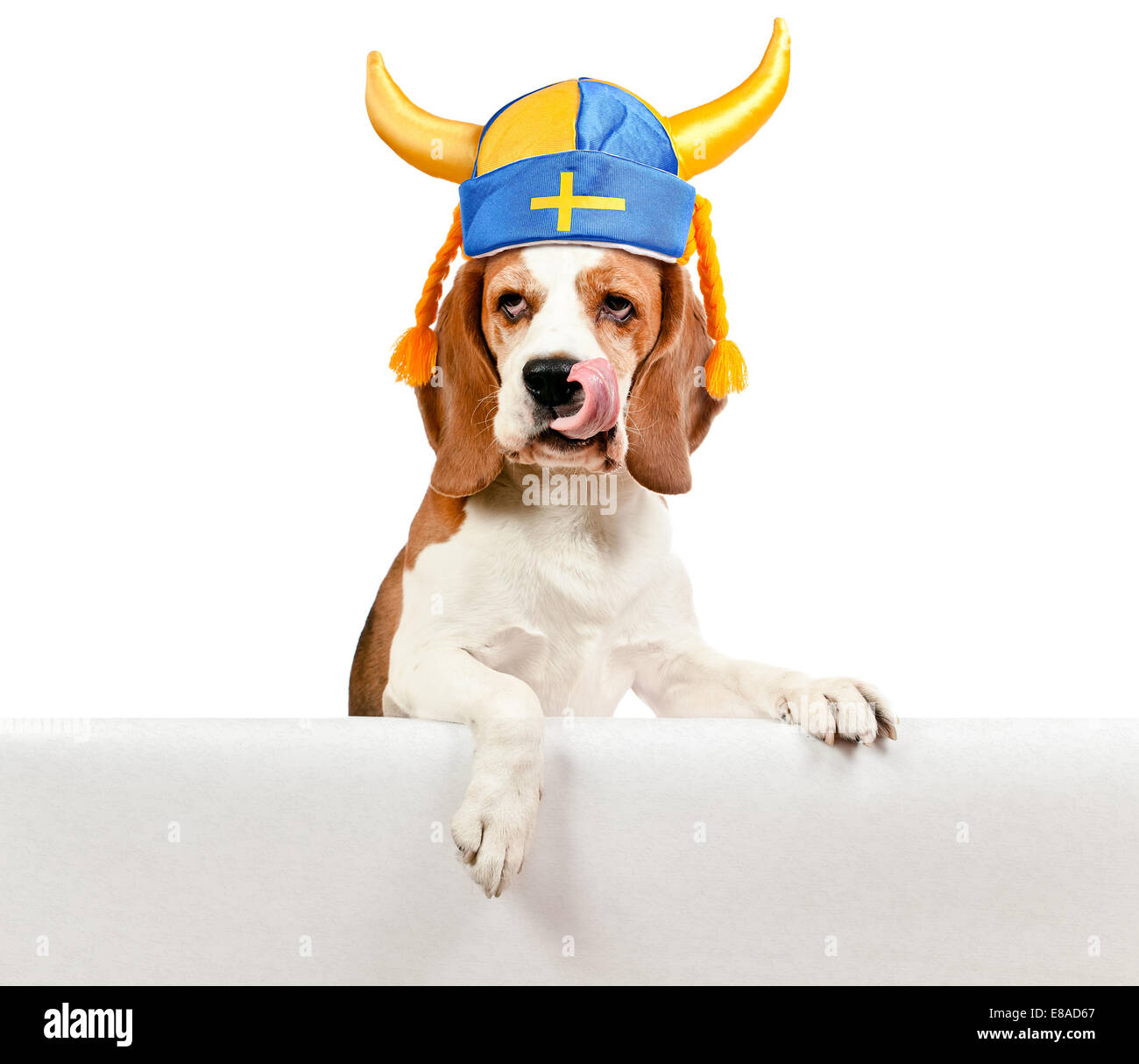beagle in Swedish hat , isolated on white background - Stock Image