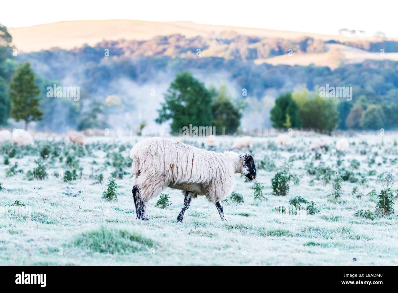 Early morning over-looking a field of sheep in the Bolton Abbey estate - Stock Image