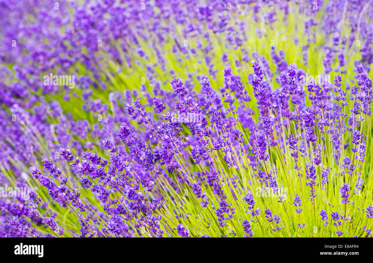 Lavender fields, Cotswolds, Worcestershire, UK - Stock Image