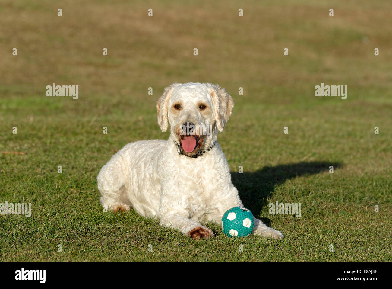 A happy looking beige coloured Labradoodle with his ball on an area of grass - Stock Image