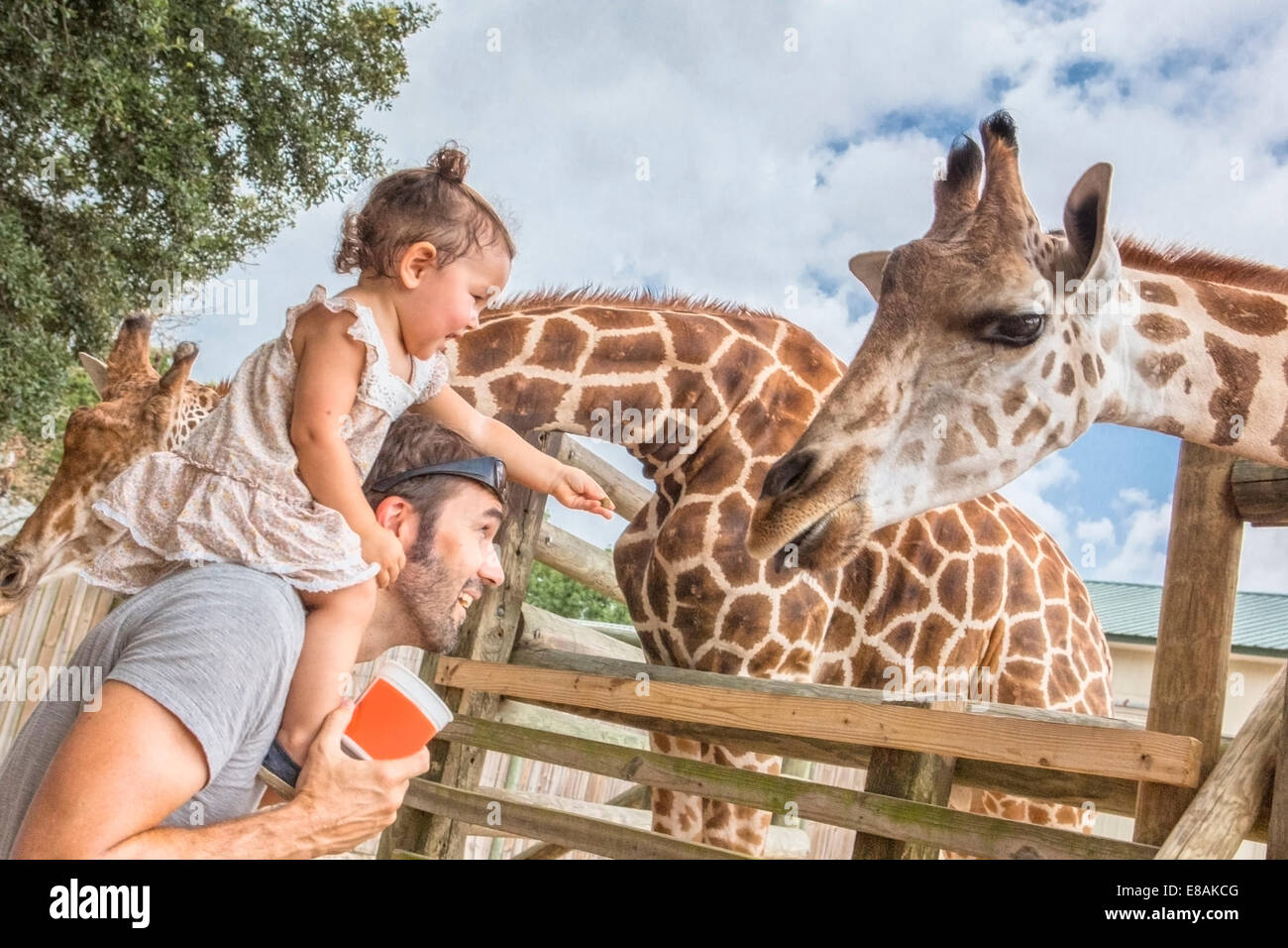 Baby girl on fathers shoulders feeding giraffes at zoo - Stock Image