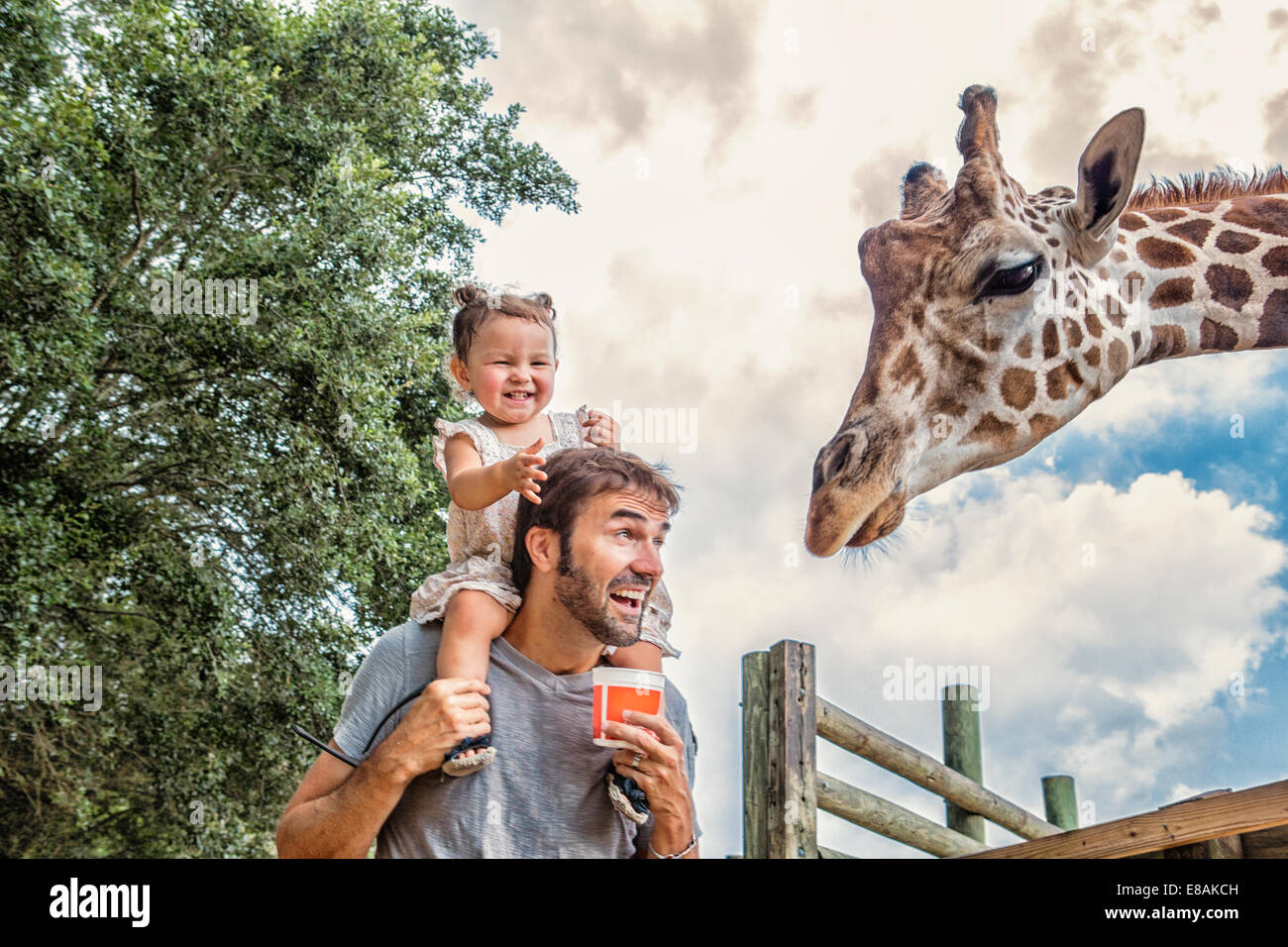 Giggling baby girl on fathers shoulders feeding giraffe at zoo - Stock Image