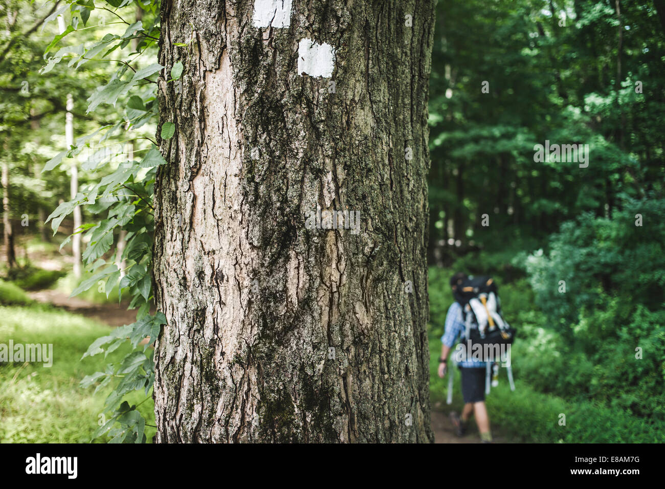 Man hiking in forest with tree trunk in foreground - Stock Image