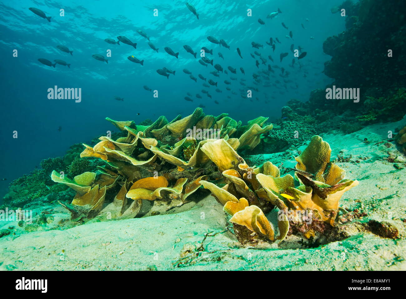 Marine plants and seabed, Uepi Point, Uepi Island, New Britain, Solomon Islands - Stock Image