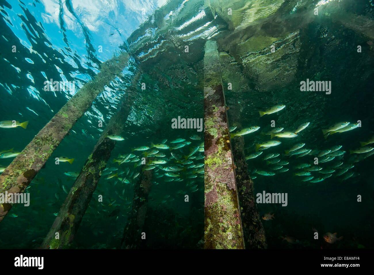 Fish swimming under Welcome Jetty, low angle, Uepi Island, New Britain, Solomon Islands - Stock Image