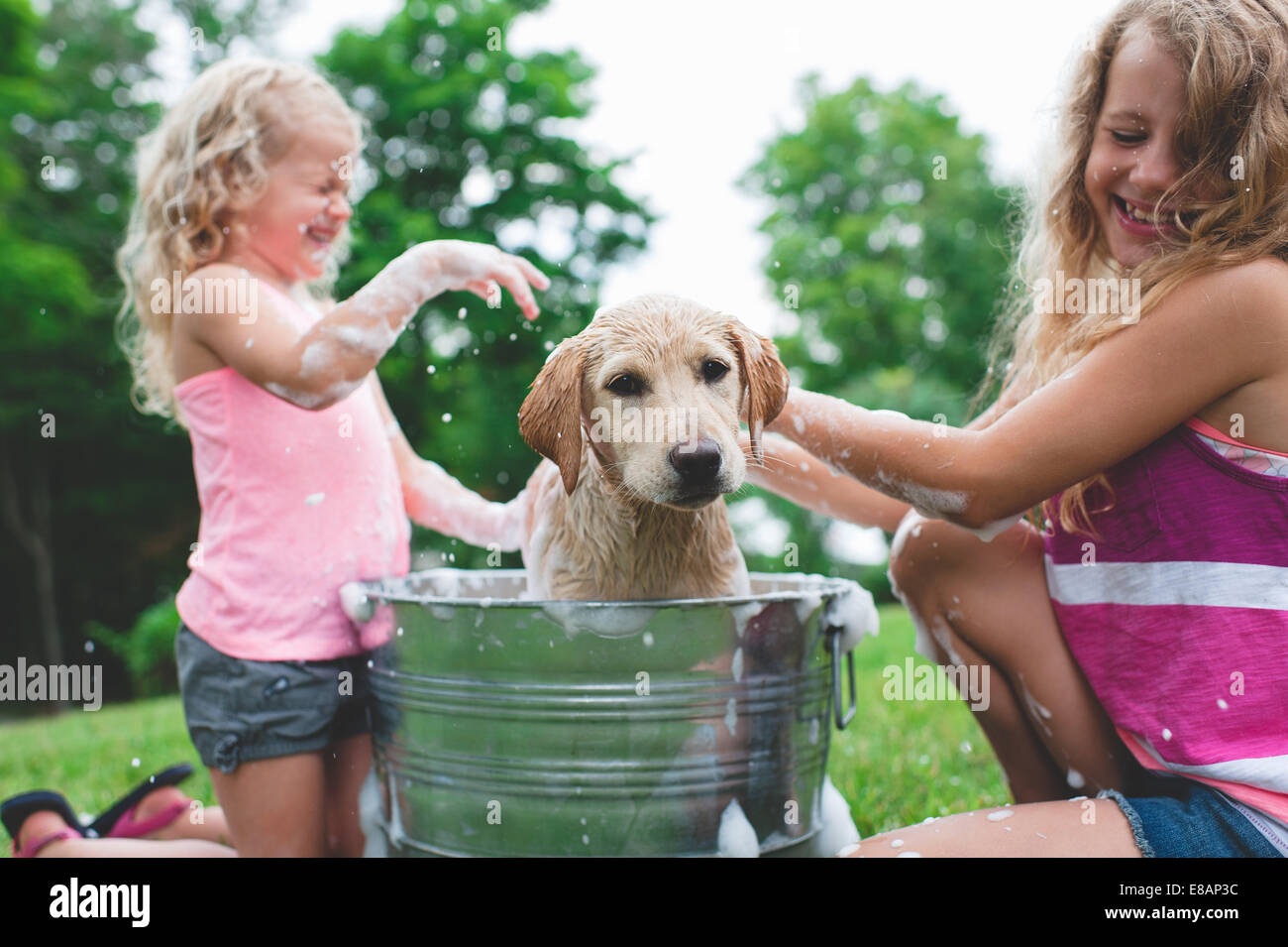 Labrador Retriever puppy in bucket shaking bath water at sisters - Stock Image