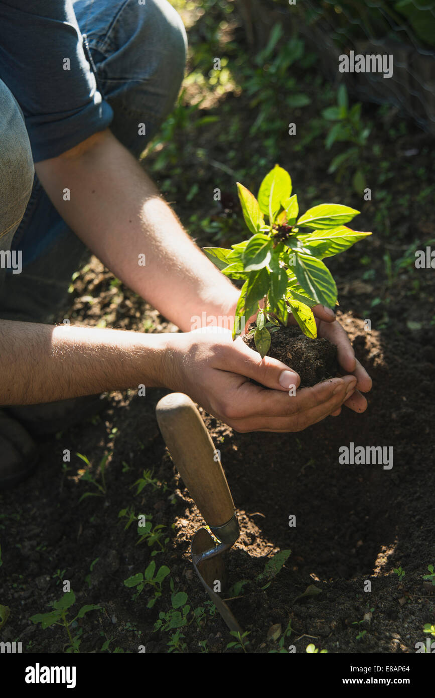 Gardener putting plant into ground - Stock Image