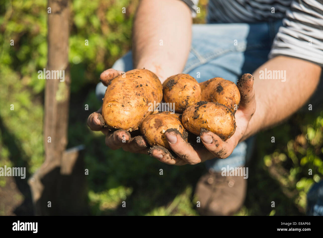 Gardener holding freshly dug potatoes Stock Photo