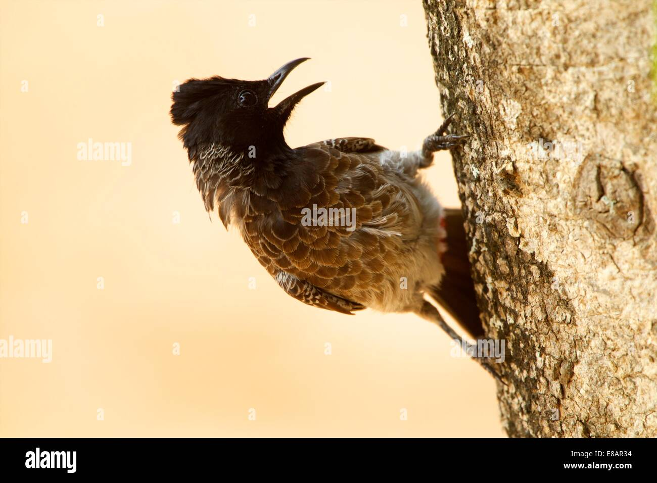 Red-vented bulbul (pycnonotus cafer), Yala National Park, Sri lanka - Stock Image